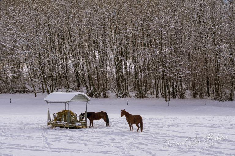 Chevaux dans le paddock enneigé