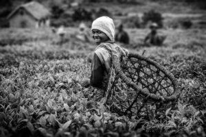 Récolte de thé dans les plantations de Sahambavy, Madagascar