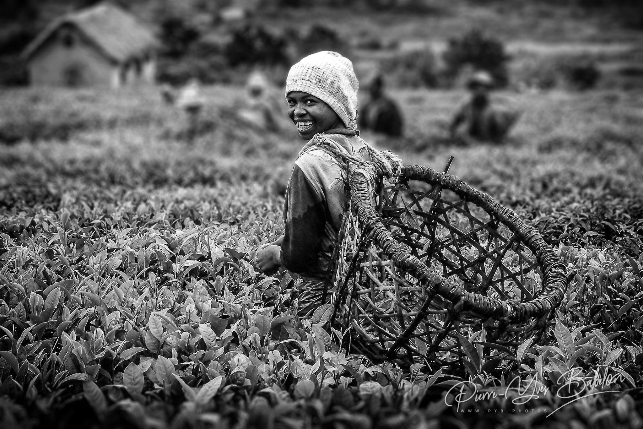 Récolte du thé dans les plantations de Sambahavy, Madagascar
