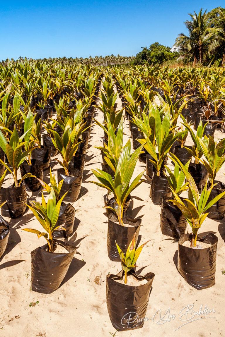 Jeunes plants  de palmiers à huile