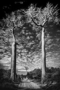 Gigantesques baobabs près de Morondava, dans l'est de Madagascar